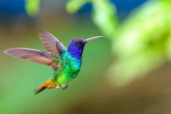 colibrí animales aéreos