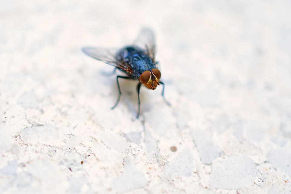 Las formas más efectivas de eliminar a las moscas